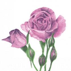 Růžové růže 33x33